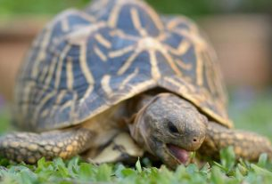 Jaipur police arrested a man keeping a wild animal tortoise as a pet
