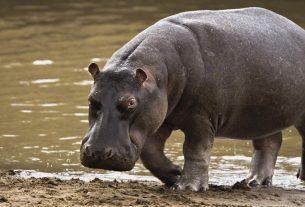 Female hippo