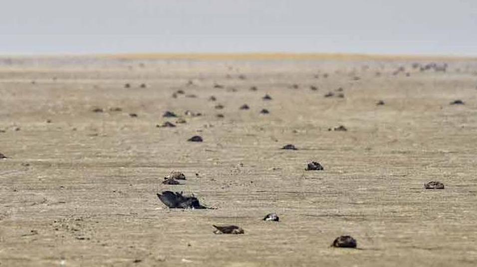 sambhar lake birds dead jaipur